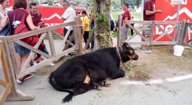 A Bormio c'è un toro per il Toro